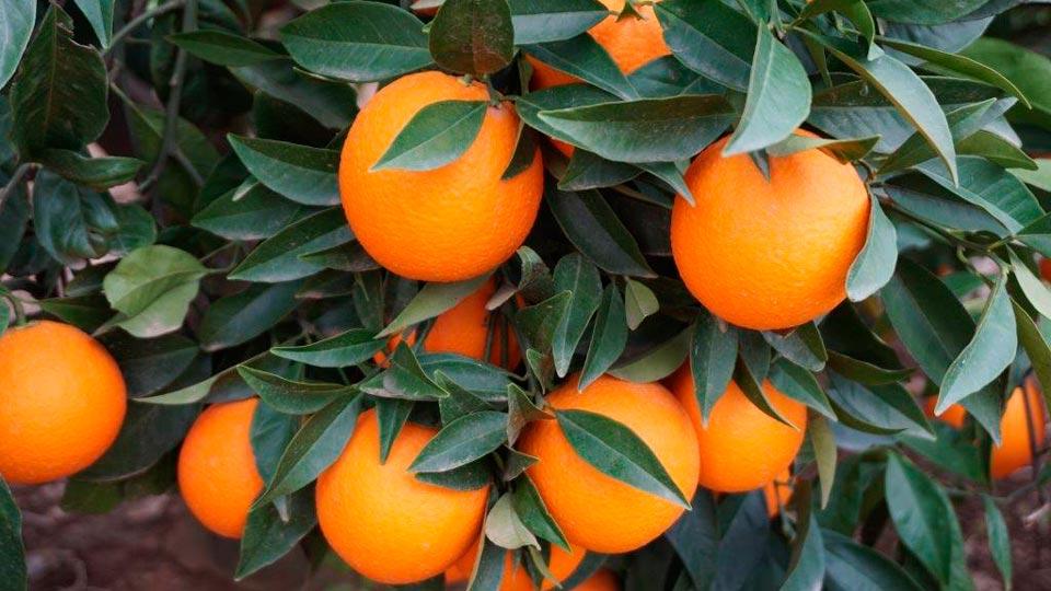 Frutas-Belinda-Productores-Naranja_1