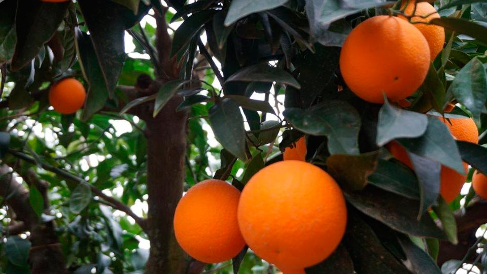 Frutas-Belinda-Productores-Naranja_2