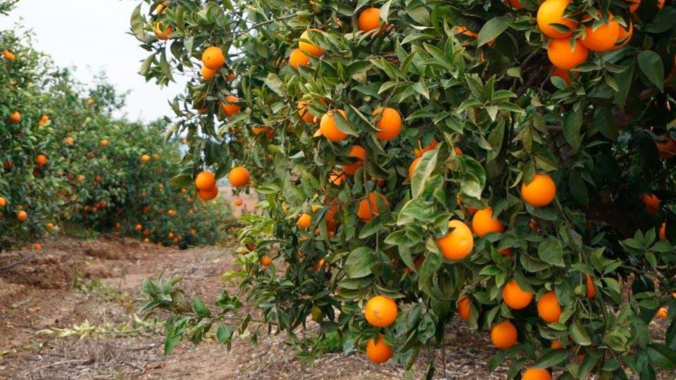 Frutas-Belinda-Productores-Naranja_3