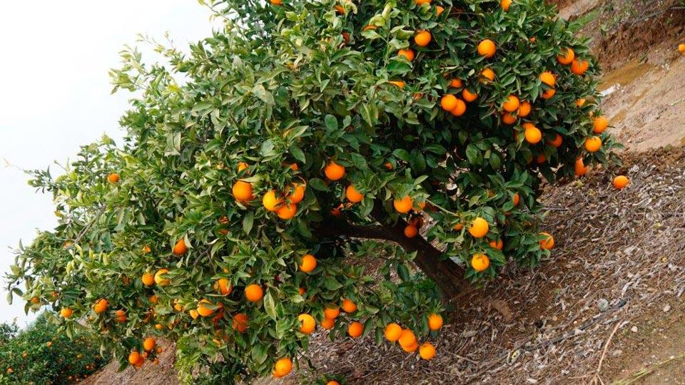 Frutas-Belinda-Productores-Naranja_4